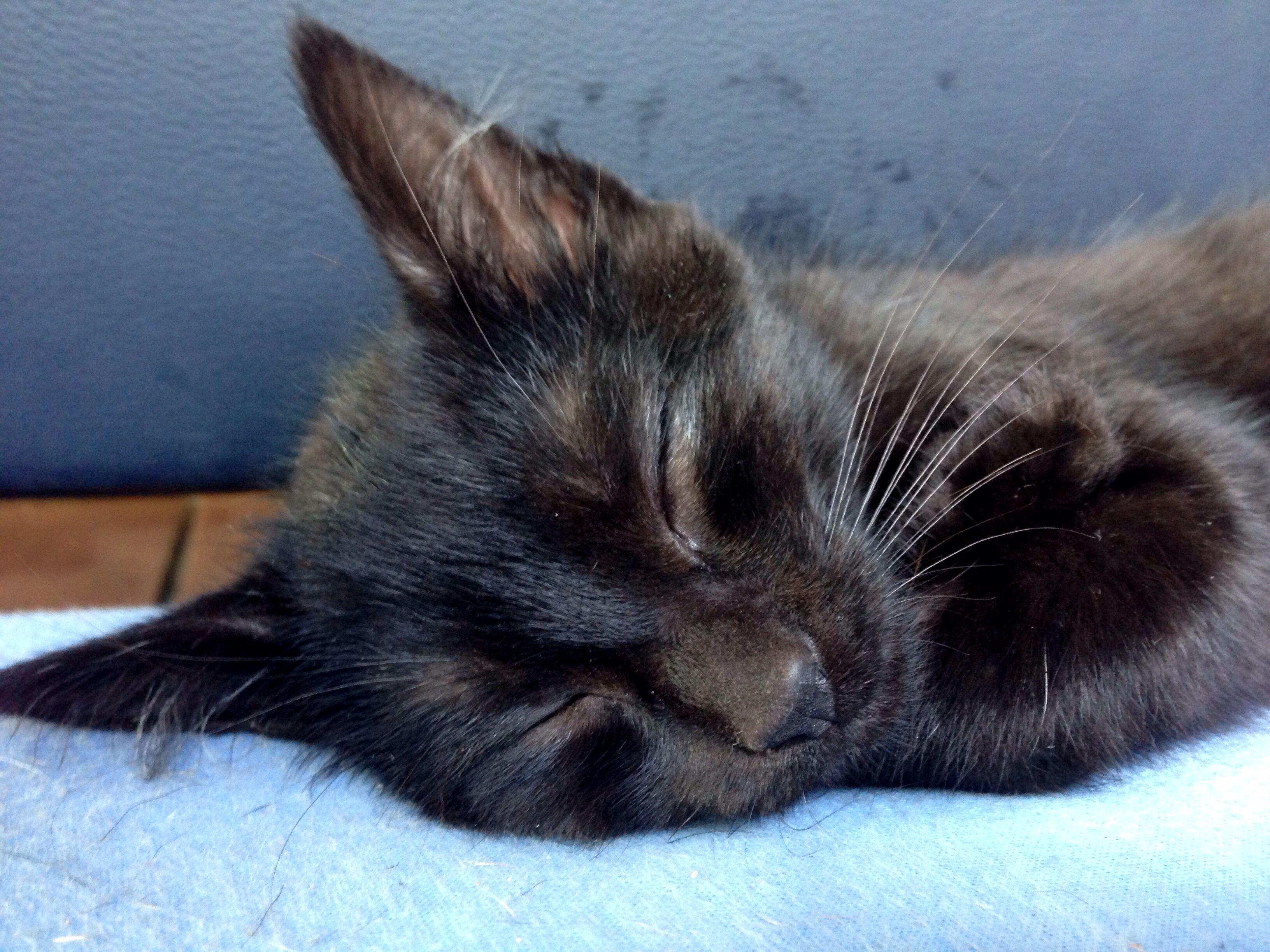 12 Week Old Black Kitten Black Kitten Cats Cute Animals