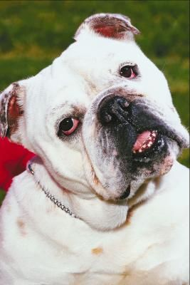 Yeast Infections In The Wrinkles Of Bulldogs Wrinkle Dogs