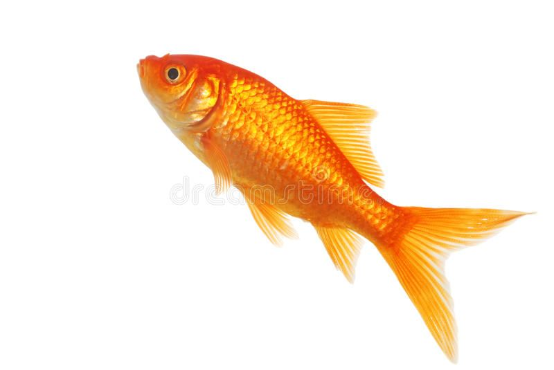 Isolated Gold Fish On A White Background Sponsored Gold Isolated Fish Background White Ad Goldfish Fish Fish Pet
