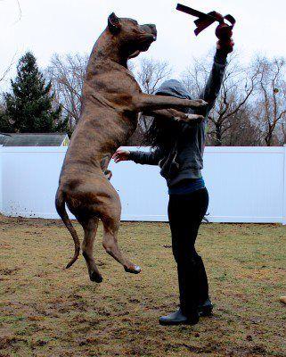 American Bully 160lbs Pitbulls American Pitbull Terrier Pitbull Xxl