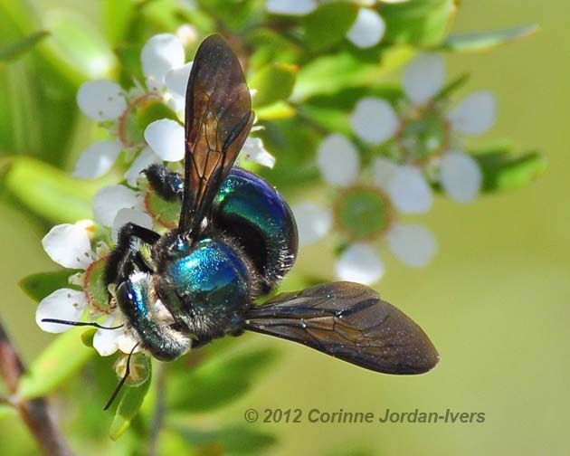 The Females Of These Carpenter Bees Xylocopa Lestis Have Shiny