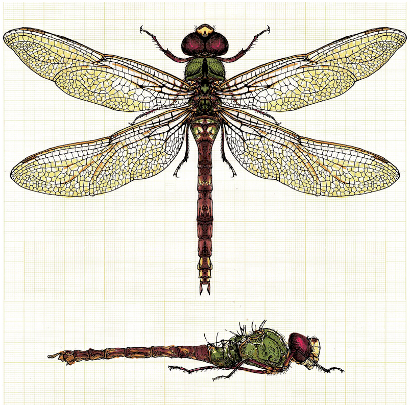 Scientific Illustration | Dragonfly | Things to use for something ...