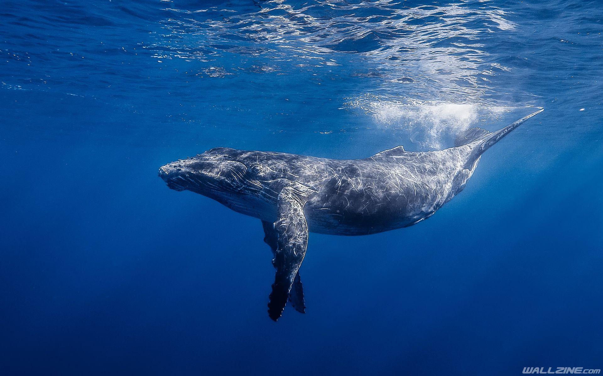 Humpback Whale Hd Hd Desktop Wallpaper Wallzine Com Whale Whale Pictures Blue Whale