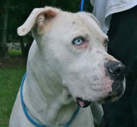 Iceman Is An Adoptable American Bulldog Dog In Chipley Fl Iceman Is A 3 To 4 Year Old Male White America American Bulldog Rescue Bulldog Dog American Bulldog