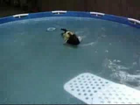Bogie Scottish Terrier Swimming