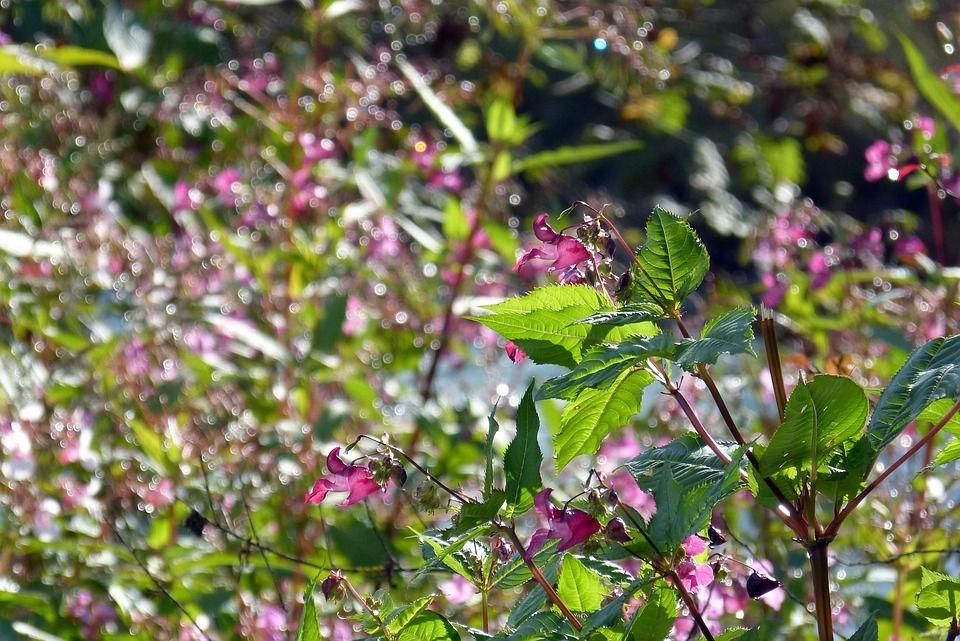 Intian Springkraut, Kukka, Pisaralla Vettä, Luonto