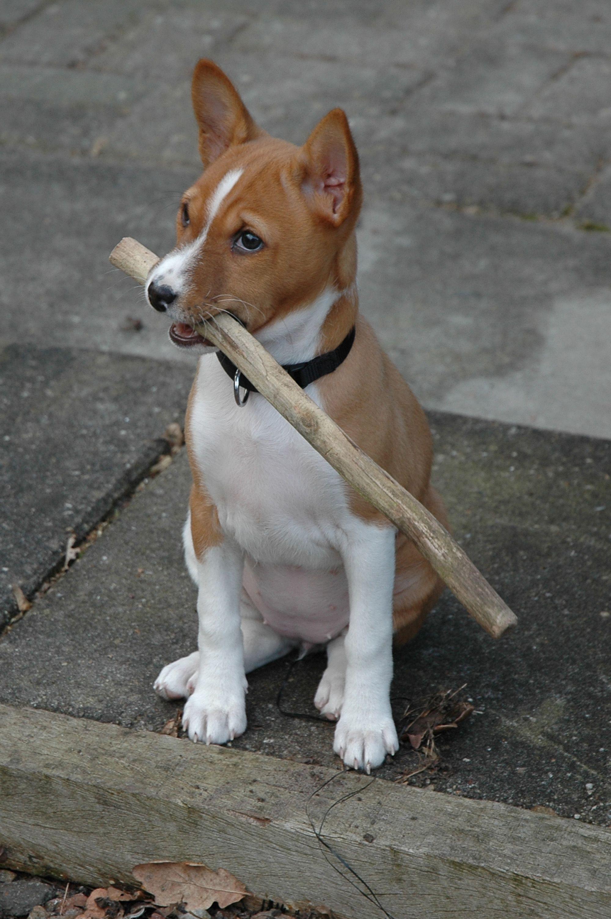 Kira 9 Weken Oud Basenji Puppy Basenji Dogs Dogs