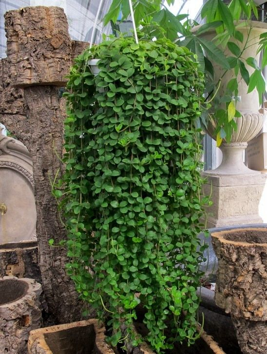 Trailing Succulent Plants Peperomia Rotundifolia Great Hanging Plant With Succulent Like Leaves Hanging Plants Outdoor Hanging Plants Indoor Peperomia Plant