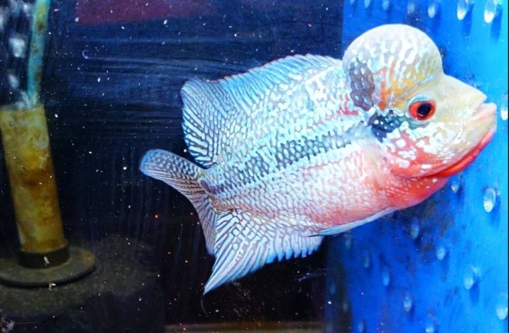 Flowerhorn Thai Vip King Srd 3 5 Inches Monster Kok No V3