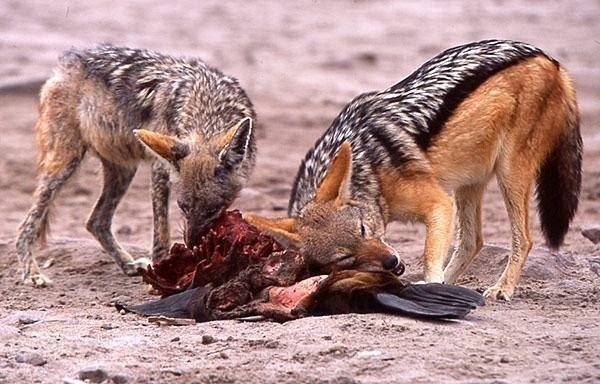 Lobos Perros Siluetas Mamíferos: Cuáles Son Los Consumidores Terciarios De La Cadena