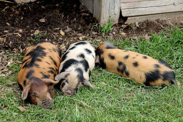 Endangered Rescued Kune Kune Piglets At Gut Aiderbichl Animal
