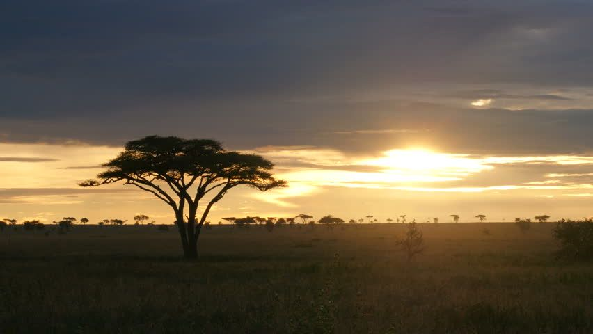 Typical African golden sunset with Acacia tree in Serengeti Tanzania