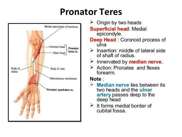 Pronator teres... Pronator of forearm... ( Wrist extension in Radial ...