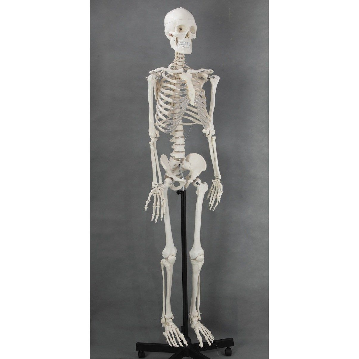 life-size medical anatomical human skeleton model, 170cm, stand, Skeleton