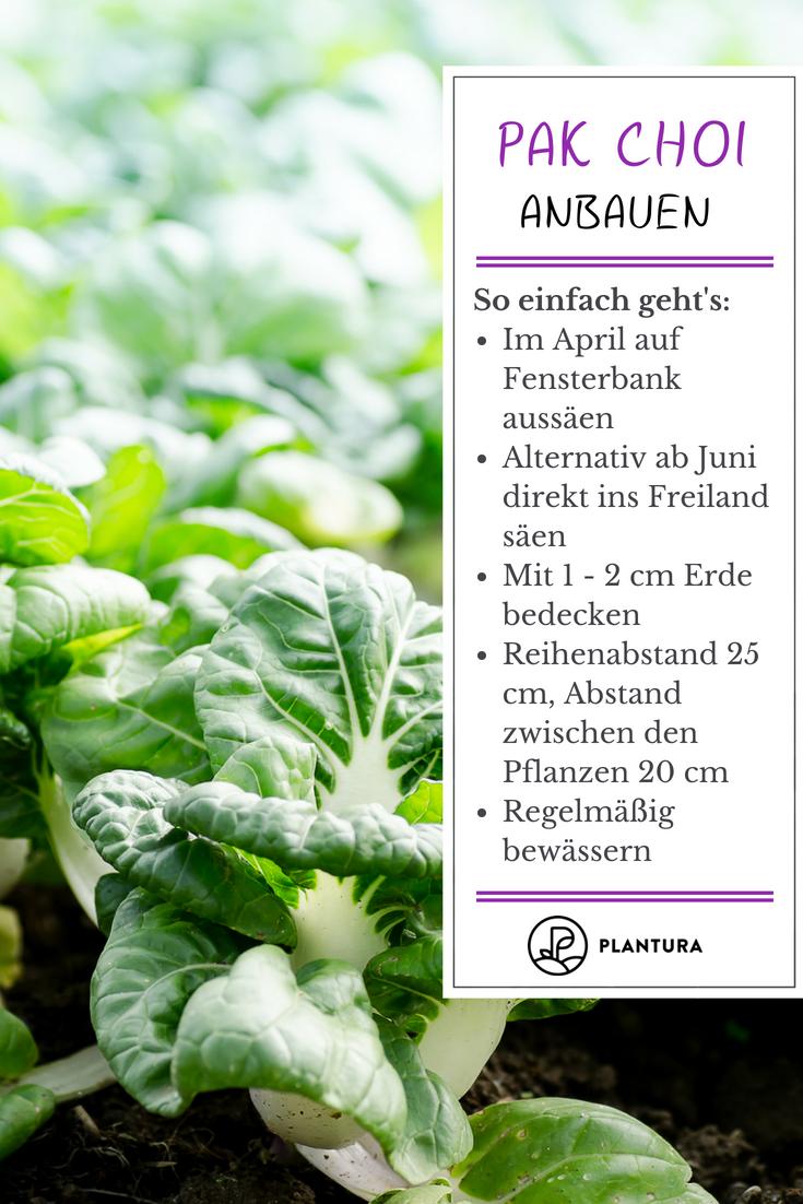 chinakohl pflanzen tipps garten pflege, pak choi anbauen: aussaat, pflege und erntezeit | pinterest, Design ideen