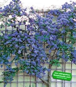 baldur garten immergr ne s ckelblume ceanothus 39 trewithen blue 39 1 pflanze gartenplanung. Black Bedroom Furniture Sets. Home Design Ideas
