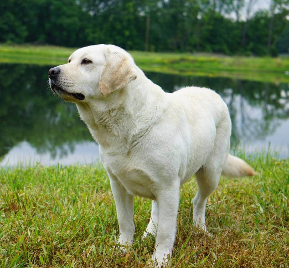 Snow White English Lab Puppies Meet Our Sire Dam Dogs Cute Yellow Labrador Retriever Puppies On White Stock In 2020 English Lab Puppies Labrador Retriever Lab Puppies