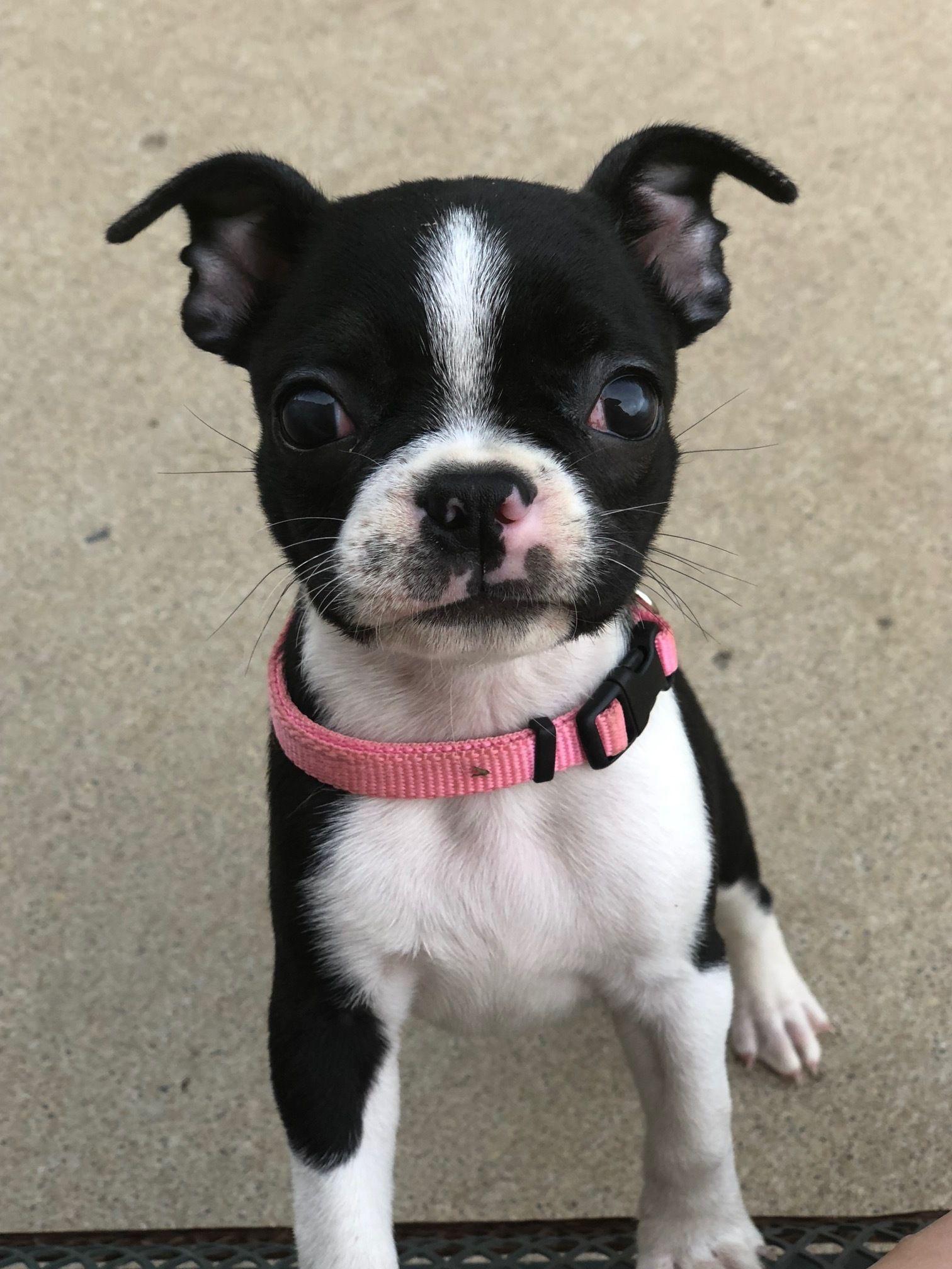 Adopt April On Baby Boston Terriers Boston Terrier Boston Terrier Puppy