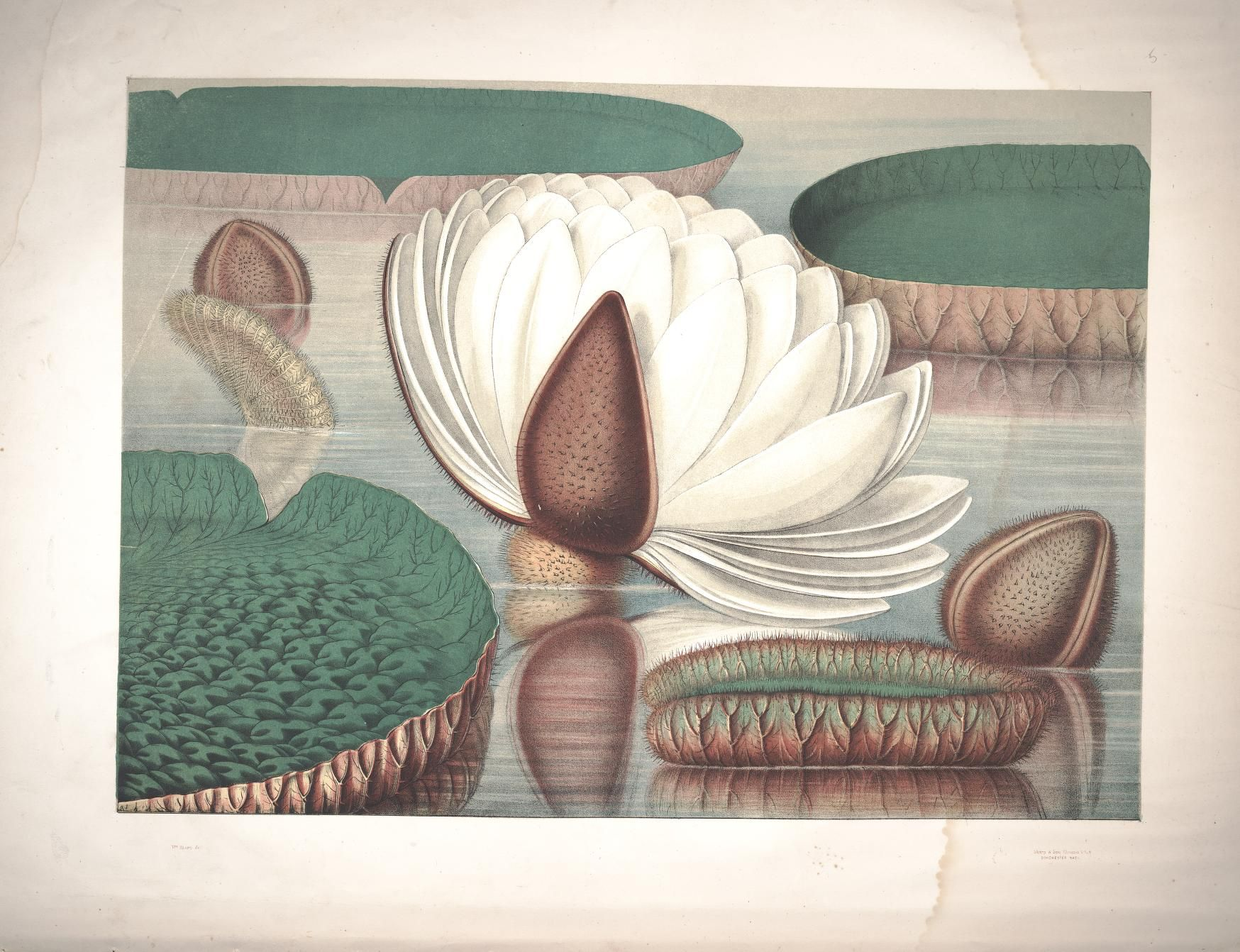 Victoria regia, or, The great water lily of America : - Biodiversity ...