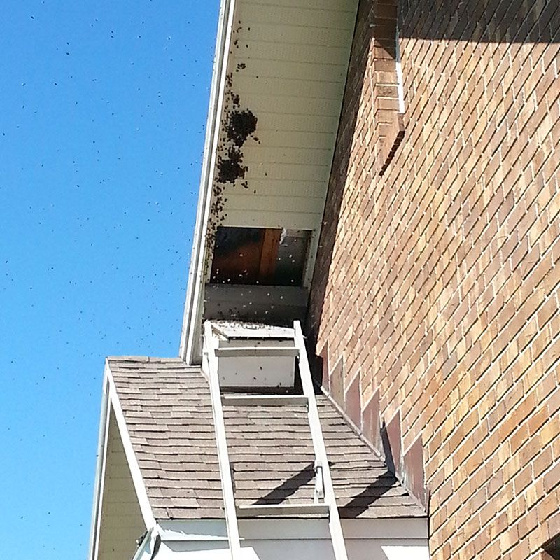 Bee Infestation In Soffit Bee Removal Bee Pest Control Bee
