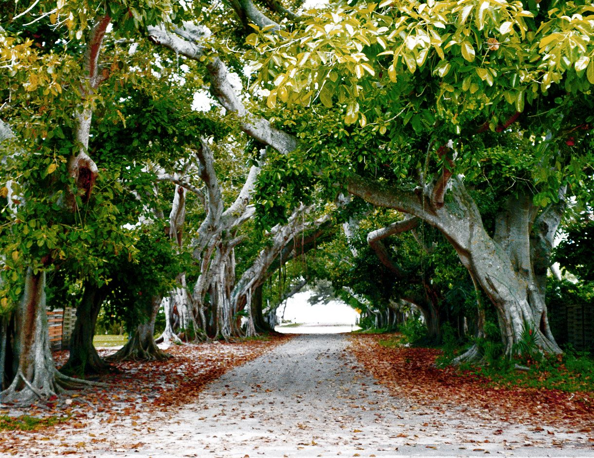 Banyan trees located at edison and ford winter estates in ft myers florida the single tree goes on and one growing from the branches down rathe