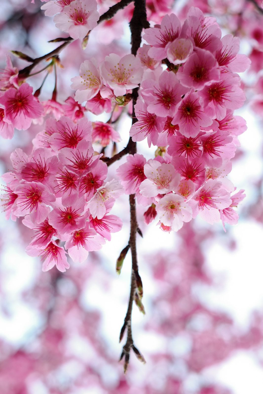 Delicate Pink Blossoms Pink Flowers Flowers Pretty Flowers