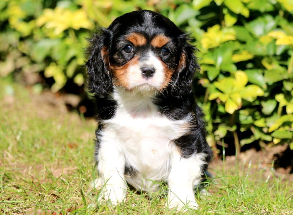 Jax Spaniel Puppies For Sale Puppies Pug Puppies