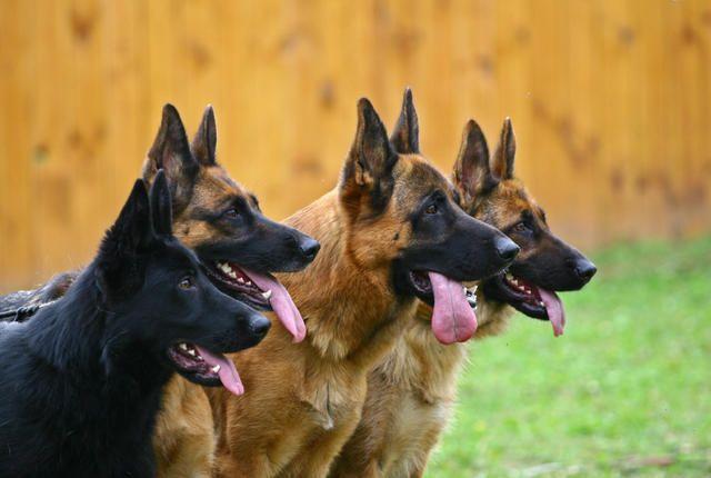 10 Noble Facts About German Shepherds Black German Shepherd Dog