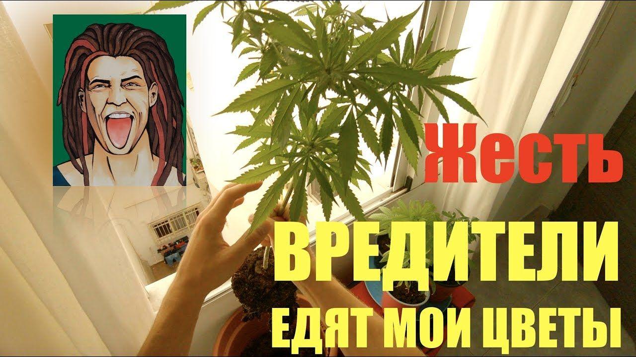как вывести с организма марихуану