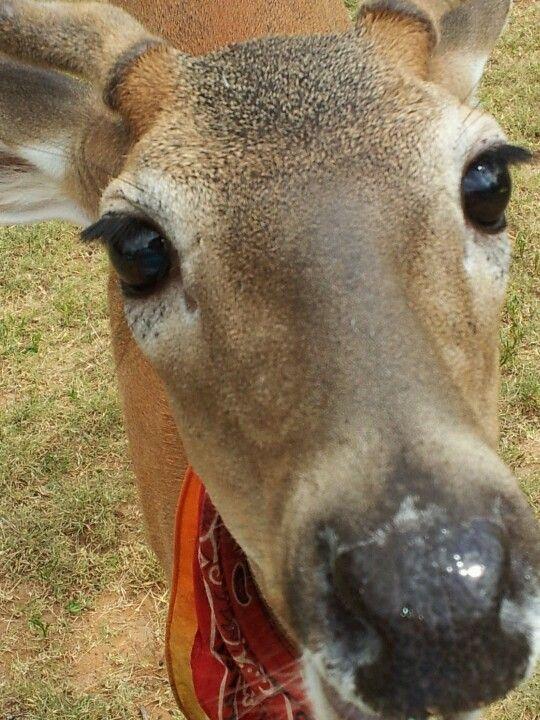 My sisters pet deer