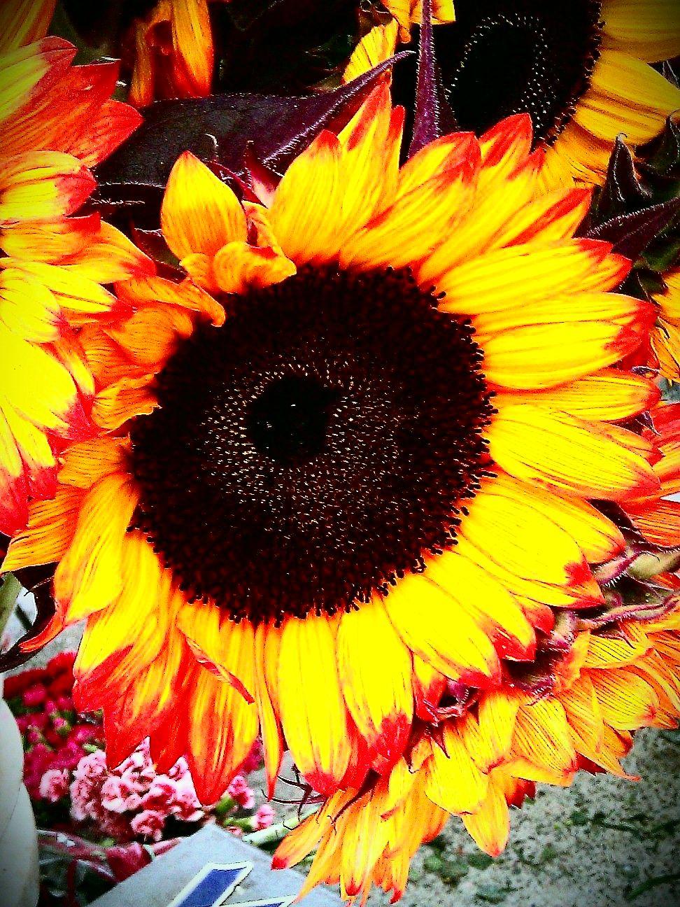 sunflowers | natureness | Flowers, Sunflower art ...