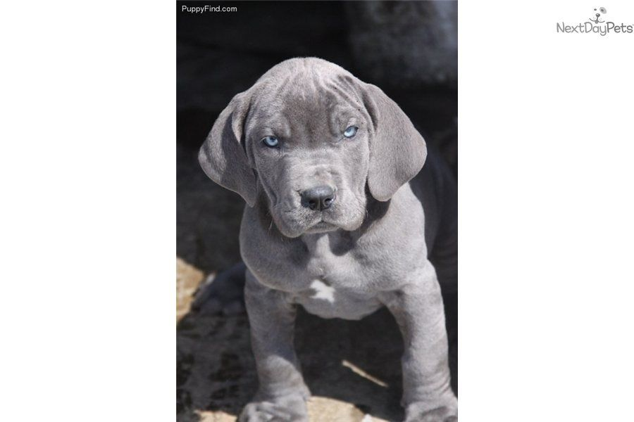 Great Danes Blue Great Danes For Sale In Kentucky Blue Great