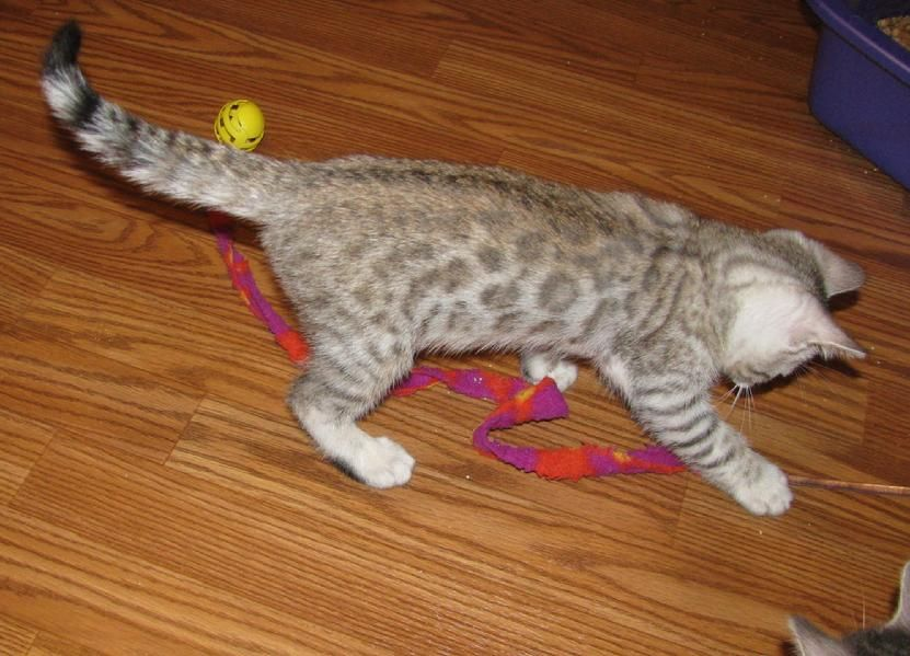 A Bengal Kitten During Its Fuzzy Stage Her Markings Will Soon