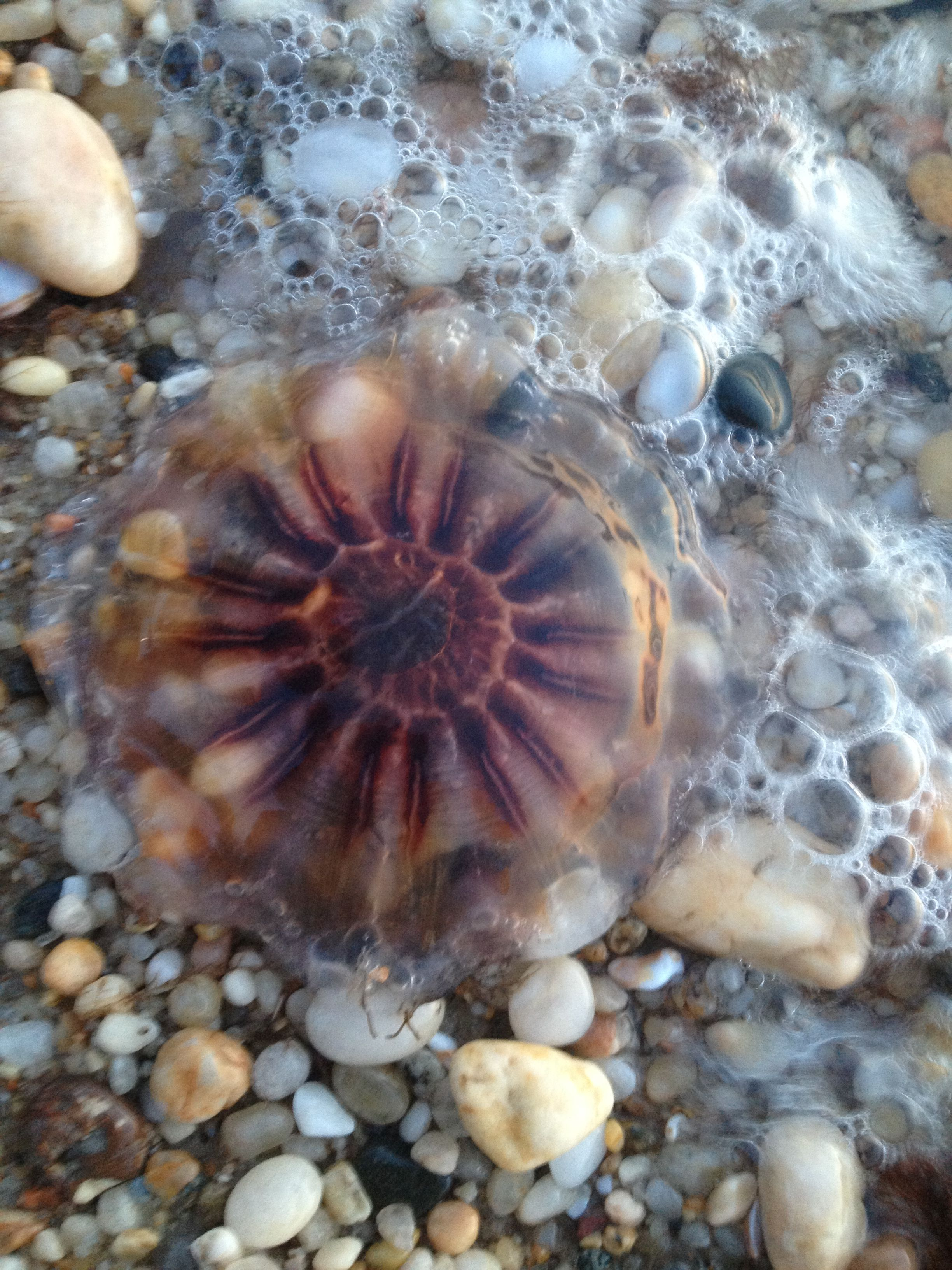 Jellyfish Washed Ashore At Greenport Long Island Long Island Long Island Sound Island