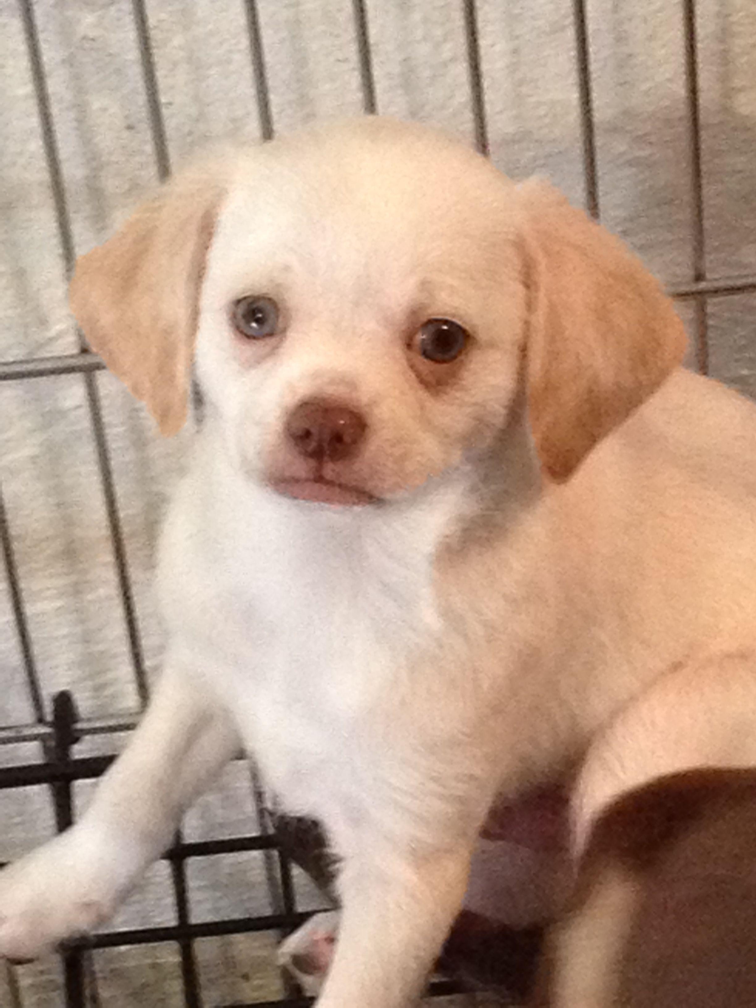 White Male Spaniel puppies for sale, Cocker spaniel