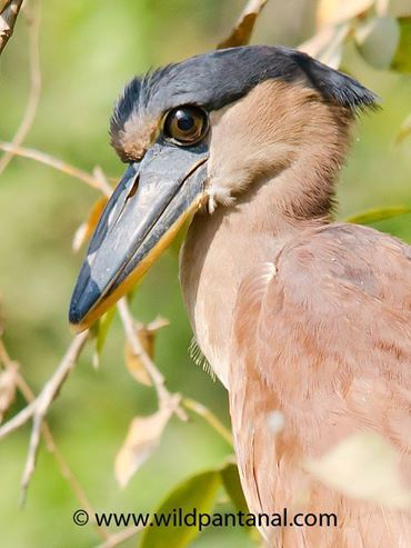 Boat-billed Heron photographed in the Pantanal, Brazil
