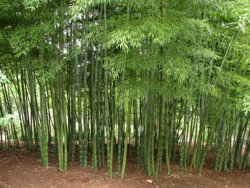 bamboo garden a site with tips for growing bamboo of different types - Bamboo Garden
