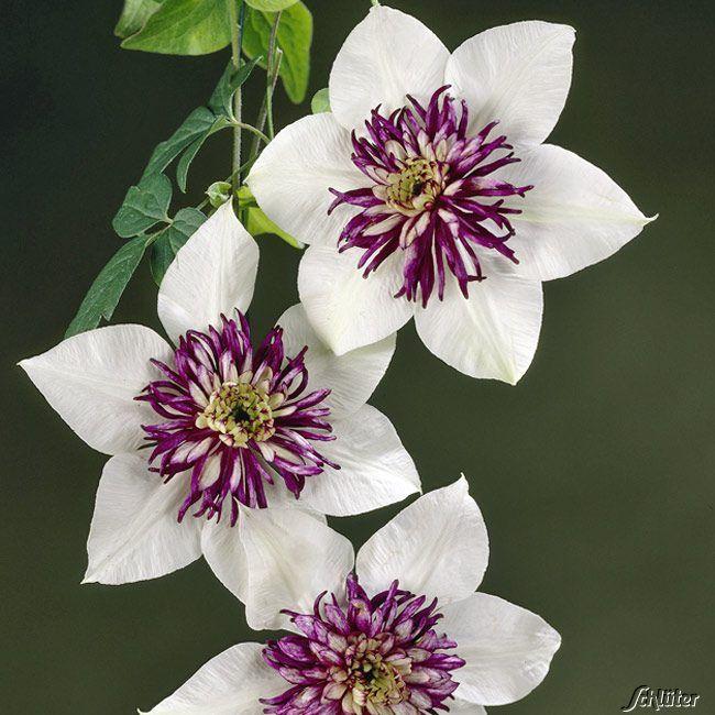 clematis 39 florida 39 sieboldiana viennetta clematis florida var sieboldiana viennetta garden. Black Bedroom Furniture Sets. Home Design Ideas