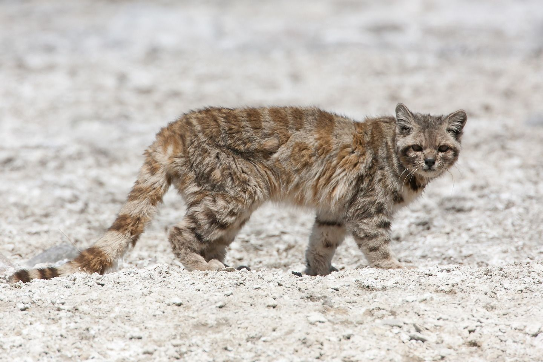Andean mountain cat (Leopardus jacobita). Wild cat