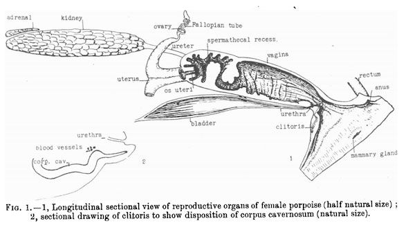 Whale vaginas are amazing droppin science pinterest a victorian era sketching of the reproductive system of a female porpoise you can easily fit your whole arm up in there says scripps and noaa ccuart Choice Image