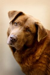 Lilo (URGENT)~SPONSORED!!!! is an adoptable Chesapeake Bay Retriever Dog in Bowling Green, KY. ***Thanks so much to BJ Austin, who SPONSORED Lilo! Now she can go home for only 50.00!*** Intake Date: 3...