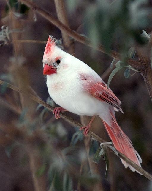 Cardenal Albino Aves De Compania Pajaros Cardenales Aves