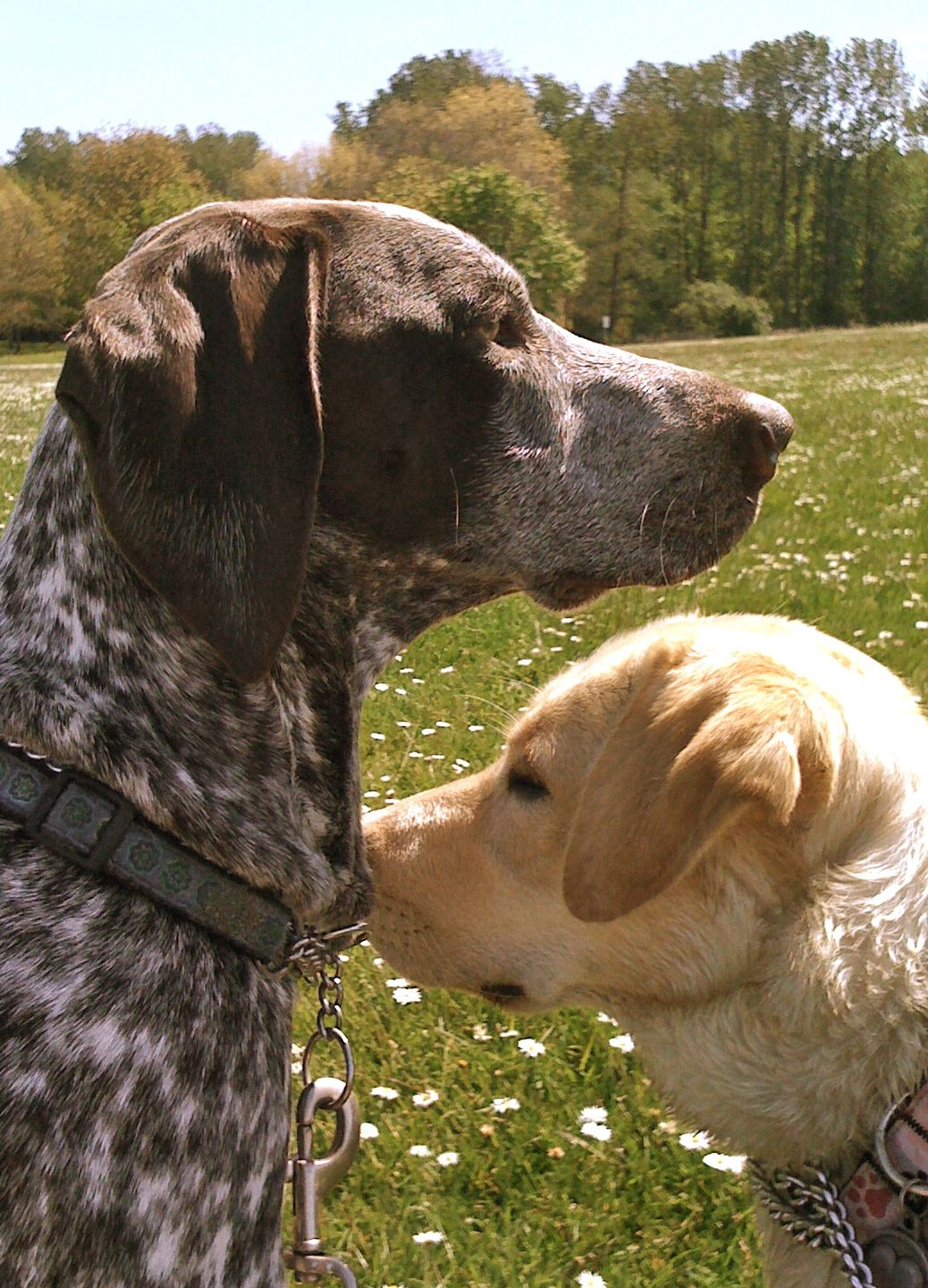 My Molly German Shorthaired Pointer My Maggie Yellow Lab Dog Pond Animals German Shorthaired Pointer