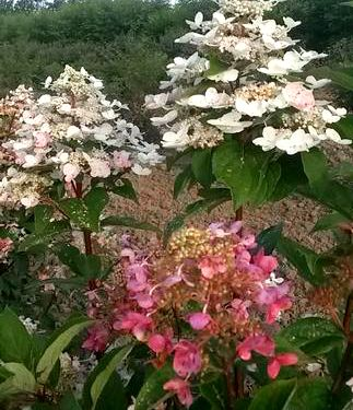 Hydrangea Paniculata Fire And Ice Hydrangea Paniculata Hydrangea Hydrangea Landscaping
