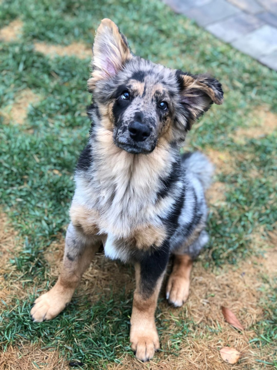 Adopt Moose on Petfinder in 2020 Australian shepherd
