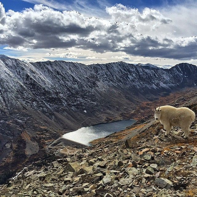 Some very photogenic #goats up on #QuandryPeak today. #Colorado #14er by kelong3 http://bit.ly/1P5g6nb