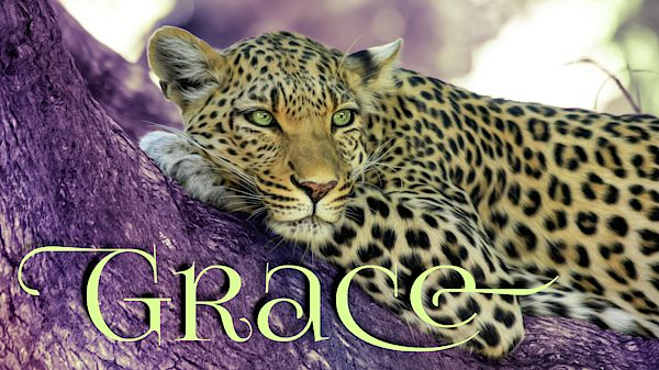 A photograph of a leopard with a purple and yellow multi-tone background gradient graphic design effect. Includes typography and the word Grace #leopard #photograph #typography #purple #gold #bigfive #Africa #Savannah #graphicArt #office #work #business #professional #digitalArt #magazine #web #print #media #decor