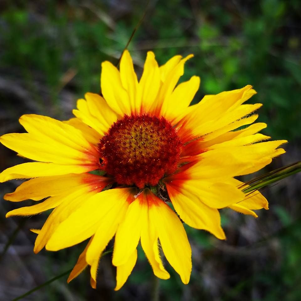 Gaillardia aristata |  is a species of flowering plant in the sunflower family <3 One of my favorite flowers | photo cred: Brandy