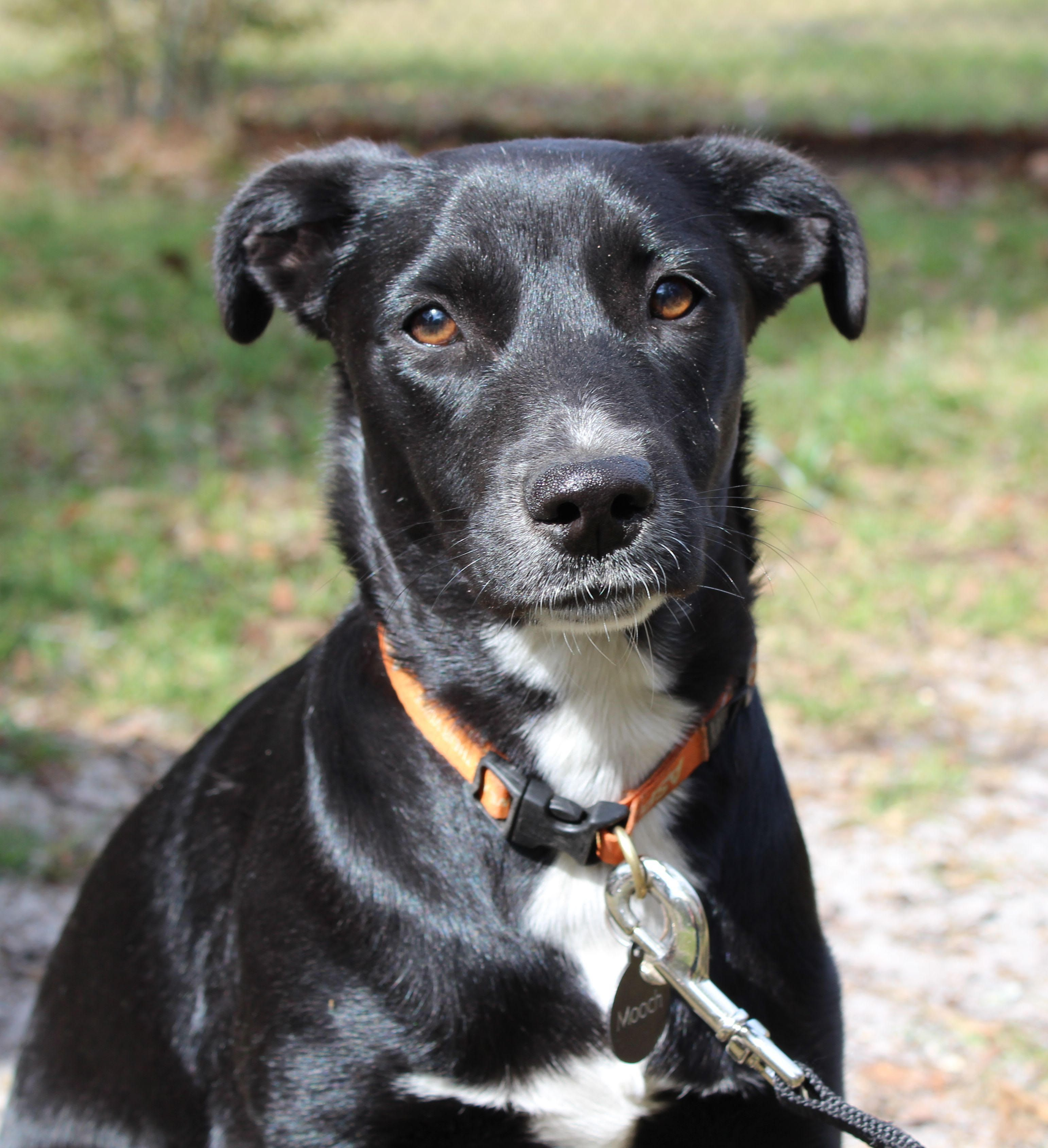 Border Collie Dog For Adoption In Tallahassee Fl Adn 521759 On