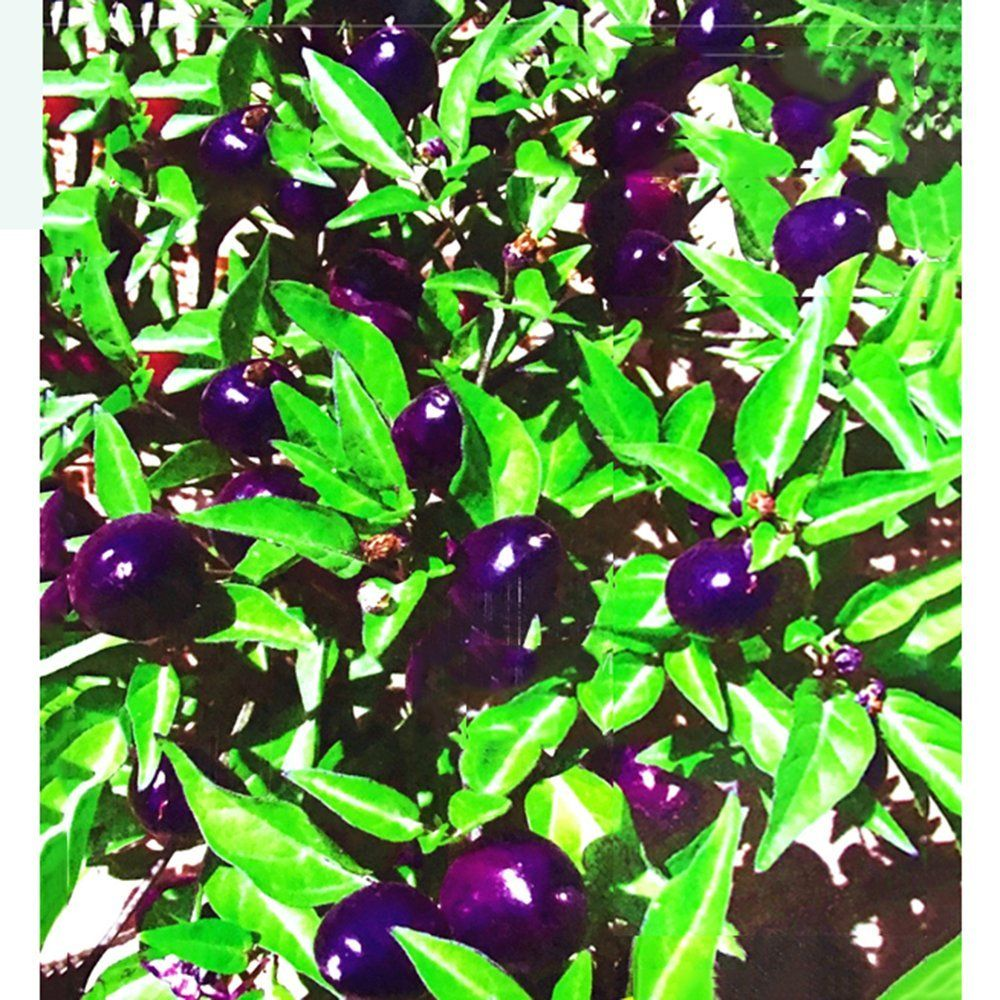 Best Garden Seeds Mini Pepper Purpe Capsicum
